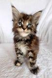 Gattino dello stealer del cuore Fotografia Stock Libera da Diritti