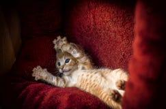 Gattino dello zenzero Fotografia Stock Libera da Diritti