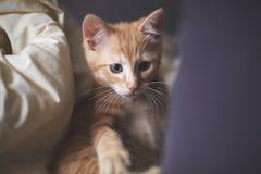 Gattino dello zenzero che è curioso Fotografie Stock Libere da Diritti