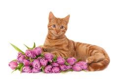Gattino dello zenzero con i tulipani fotografia stock