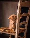 Gattino dello zenzero sulla sedia Fotografie Stock
