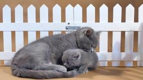 Gattino di Britannici Shorthair e gatto della madre vicino ad un recinto archivi video