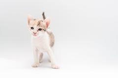 Gattino di Brown fotografia stock
