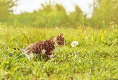 Gattino di curiosità che fiuta un dente di leone fotografie stock