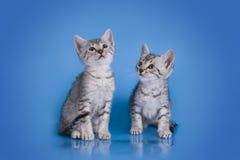 Gattino di Mau dell'Egiziano isolato su un fondo colorato fotografie stock libere da diritti