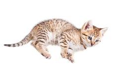 Gattino di menzogne Fotografie Stock
