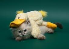 Gattino di menzogne con un giocattolo. Immagini Stock Libere da Diritti