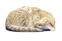 Gattino di Ocicat che dorme con il percorso di residuo della potatura meccanica Fotografia Stock