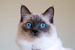 Gattino di Ragdoll Fotografia Stock Libera da Diritti