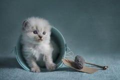 Gattino di Ragdoll Fotografie Stock