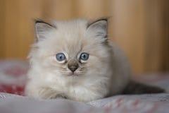 Gattino di Ragdoll Fotografia Stock