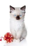 Gattino di Ragdoll con il nastro Fotografia Stock Libera da Diritti