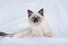 Gattino di Ragdoll del punto della guarnizione su tessuto bianco Fotografia Stock Libera da Diritti