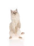 Gattino di Ragdoll sui piedini posteriori Fotografia Stock