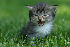 Gattino di risata Fotografie Stock Libere da Diritti