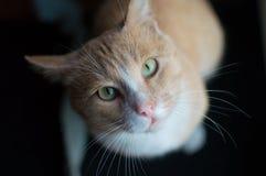 Gattino di rosso del gatto Fotografia Stock Libera da Diritti
