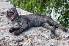 Gattino di sbadiglio Fotografie Stock Libere da Diritti