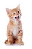Gattino di sbadiglio rosso. fotografie stock