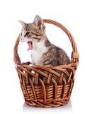 Gattino di sbadiglio in un canestro wattled. immagini stock libere da diritti