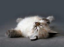 Gattino di sonno del colorpoint di Sberian Fotografie Stock Libere da Diritti