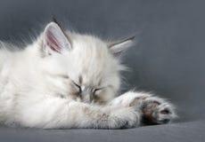 Gattino di sonno del colorpoint di Sberian Immagini Stock Libere da Diritti