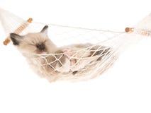 Gattino di sonno Ragdoll su priorità bassa bianca Immagine Stock
