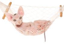 Gattino di Sphynx in mini hammock Fotografia Stock Libera da Diritti