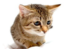 Gattino di ?urious. Immagine Stock Libera da Diritti