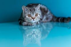 Gattino diritto scozzese Immagini Stock