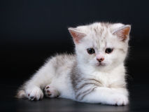 Gattino diritto scozzese della razza sul nero Fotografie Stock