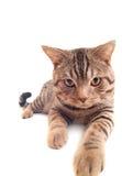 Gattino divertente Fotografia Stock Libera da Diritti