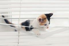 Gattino divertente aggrovigliato nei ciechi che giocano sulla finestra fotografia stock libera da diritti