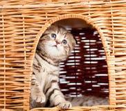 Gattino divertente che si siede all'interno della casa di vimini del gatto Immagine Stock Libera da Diritti
