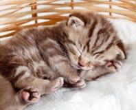 Gattino divertente dell'animale domestico del gatto del bambino di sonno Fotografie Stock