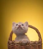 Gattino divertente piccolo Fotografia Stock Libera da Diritti