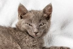 Gattino domestico sveglio che si trova sull'asciugamano bianco fotografie stock
