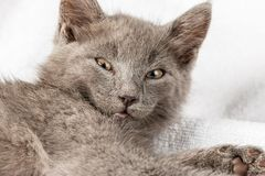 Gattino domestico sveglio che si trova sull'asciugamano bianco fotografie stock libere da diritti