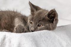Gattino domestico sveglio che si trova sull'asciugamano bianco immagini stock libere da diritti