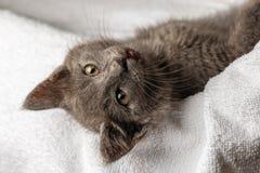 Gattino domestico sveglio che si trova sull'asciugamano bianco e che guarda alla macchina fotografica immagini stock