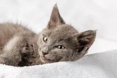 Gattino domestico sveglio che si trova sull'asciugamano bianco e che guarda alla macchina fotografica immagine stock