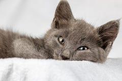 Gattino domestico sveglio che si trova sull'asciugamano bianco e che guarda alla macchina fotografica fotografie stock libere da diritti