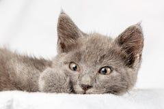 Gattino domestico sveglio che si trova sull'asciugamano bianco e che guarda alla macchina fotografica fotografie stock