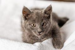 Gattino domestico sveglio che si trova sull'asciugamano bianco e che guarda alla macchina fotografica fotografia stock