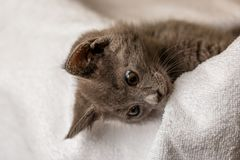 Gattino domestico sveglio che si trova sull'asciugamano bianco e che guarda giù fotografia stock
