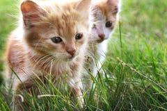 Gattino due su erba verde Fotografia Stock