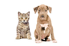 Gattino e cucciolo diritti scozzesi del pitbull Fotografia Stock