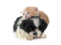 Gattino e cucciolo persiani Fotografia Stock
