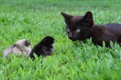 Gattino e due polli Fotografia Stock Libera da Diritti