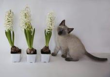 Gattino e giacinto svegli tre in vasi da fiori Fotografie Stock