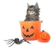 Gattino e Halloween del procione lavatore di Maine Fotografia Stock Libera da Diritti